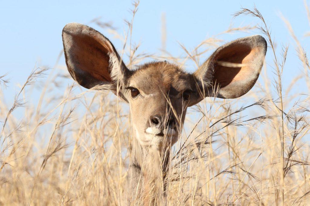 a deer listening